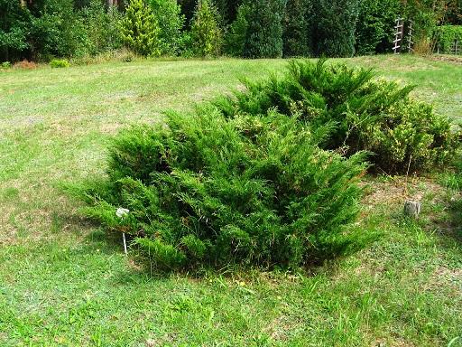 1280px-Podlaskie_-_Suprasl_-_Kopna_Gora_-_Arboretum_-_Juniperus_sabina_'Variegata'_-_plant