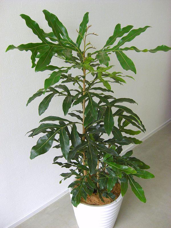 گل استنوکارپوس (نگهداری + پرورش)