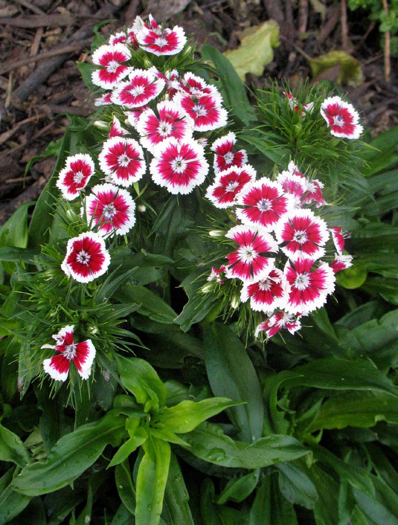 گل میخک (نگهداری + پرورش)
