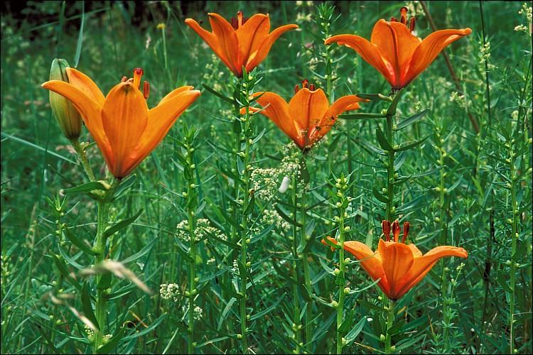 گل سوسن (نگهداری + پرورش)