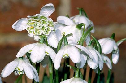 گل بهمن پرپر