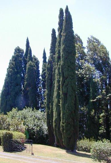 درخت سرو (نگهداری + پرورش)