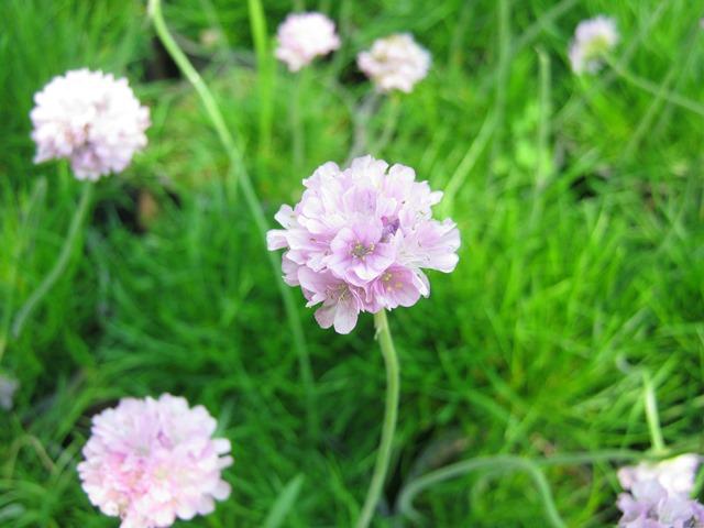 گل آرمریا