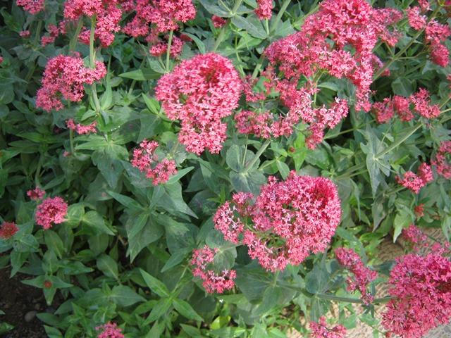 گل سنترانتوس