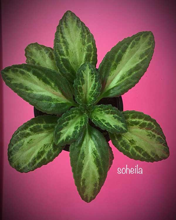 شیپ و فرم متقارن و زیبای گیاه