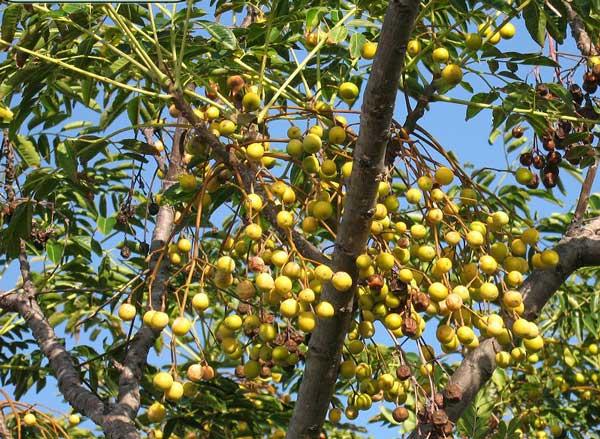 میوه زیتون تلخ
