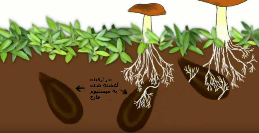 هم زیستی بذرارکیده با قارچ مایکوریزا