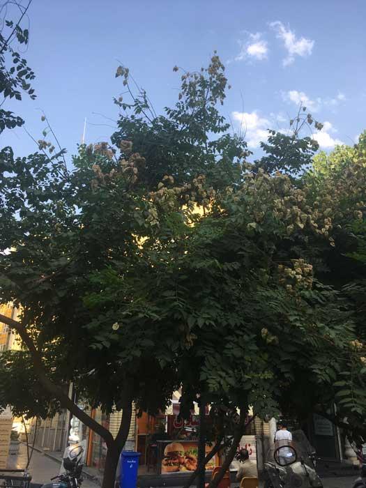 درخت باران طلایی سطح شهر