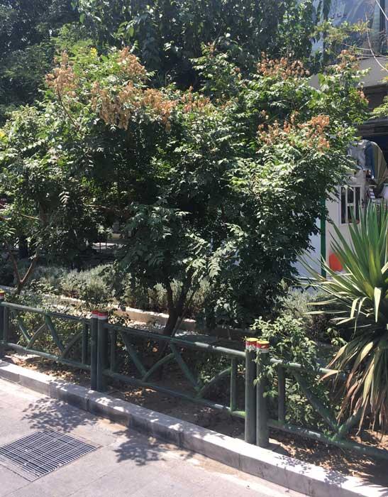 گونه ی Paniculata