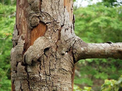 شانکر در درخت باران طلایی