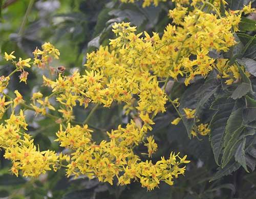 گل های زرد باران طلایی