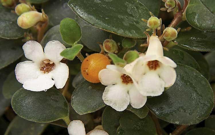 گلهای گونه کارنوسا