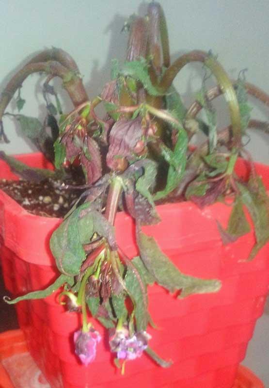 بیماری فیتوفترا در گل حنا