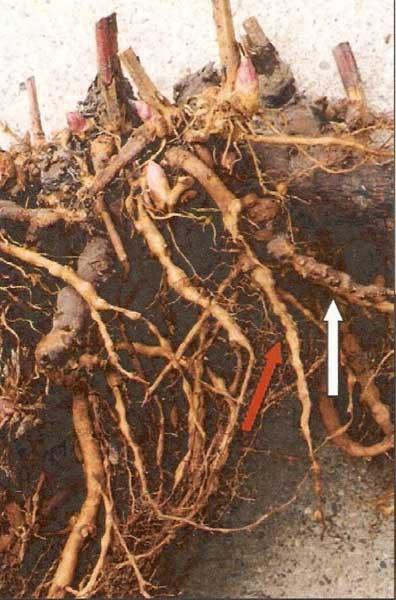 ریشه های گره دار شده