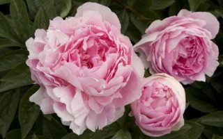 گل صدتومانی
