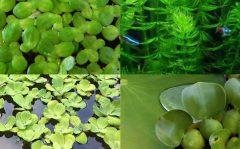 بکار بردن گیاه ابزی در اکواریوم