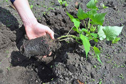 گلدان ریشه سیب زمینی شیرین