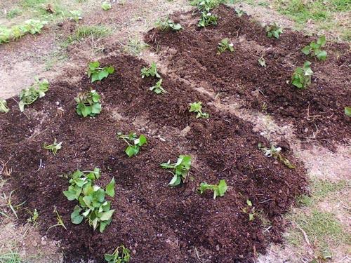 خاک سیاه و حاصلخیز مناسب سیب زمینی شیرین
