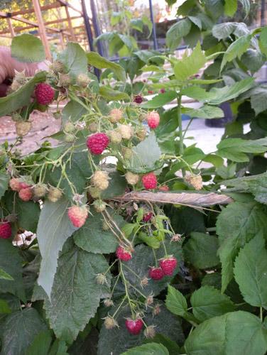 میوه های رزبری قرمز