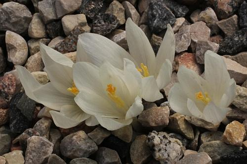 زعفران ایرانی