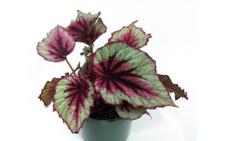 جامع ترین ژورنال گل و گیاه ایرانگلهای تراریومی،گیاهان مناسب در ...بگونیا رکس