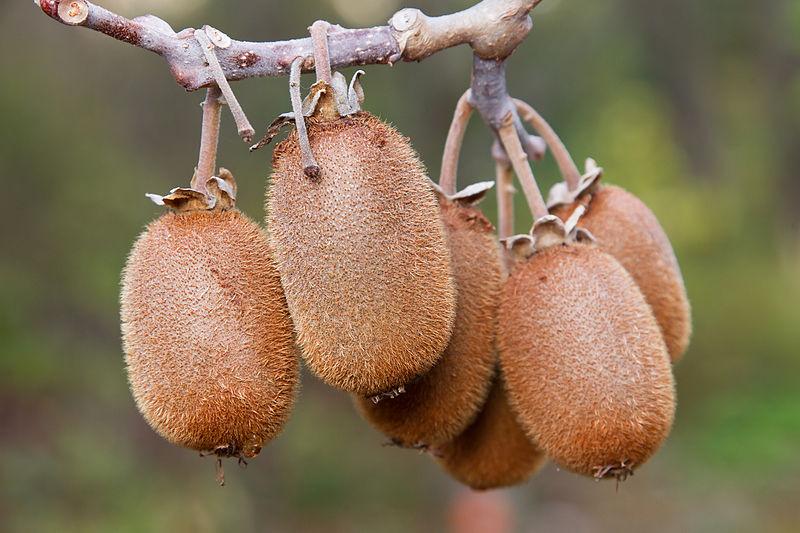 درخت کیوی