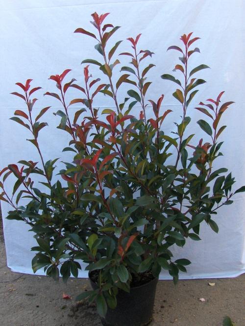 درختچه سه رنگ