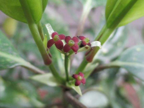 گلهای بدرد نخور آکوبا