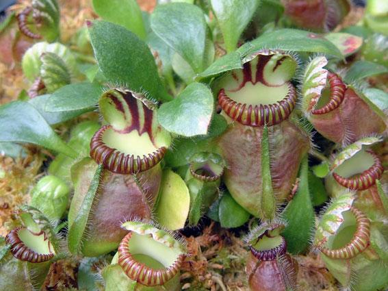Cephalotus-Plant
