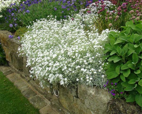 گل سراستیوم (نگهداری + پرورش)