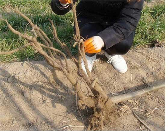 قلمه گیری از ریشه پالونیا