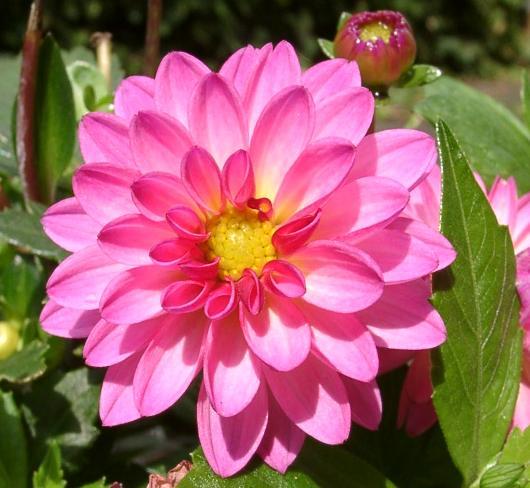گل کوکب (نگهداری + پرورش)