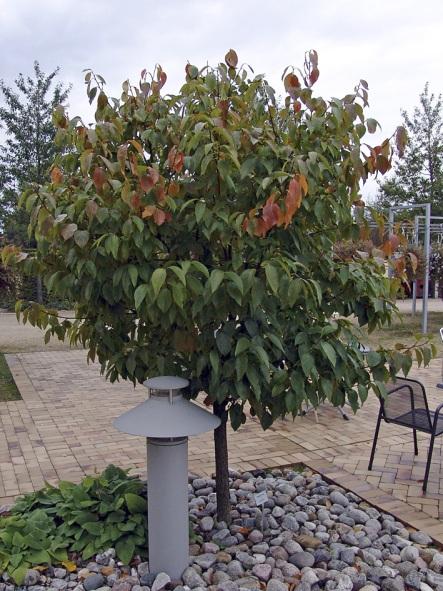 درخت خرمالو