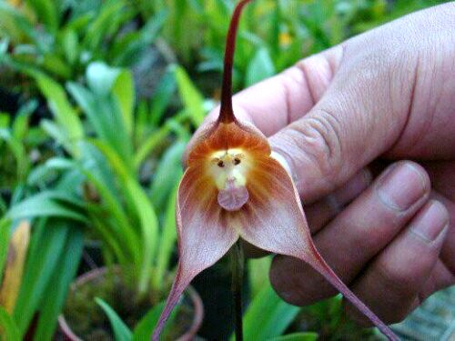گل ارکیده میمون