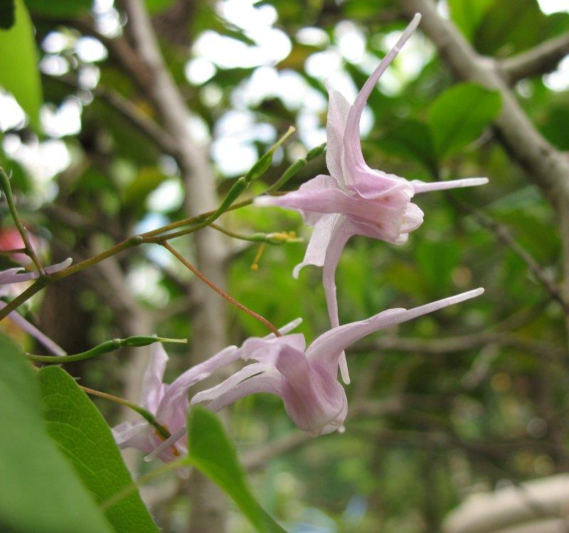 گل اپیمدیوم
