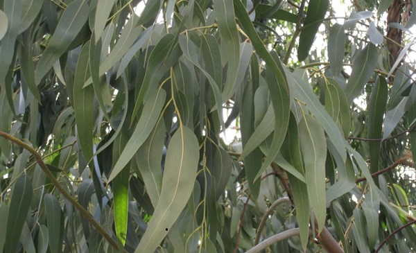 درخت اکالیپتوس