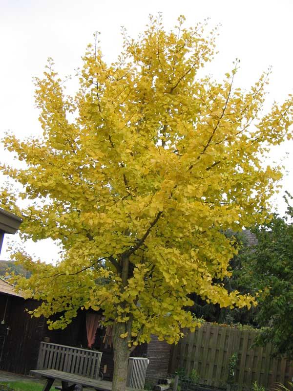 خزان درخت ژینکو