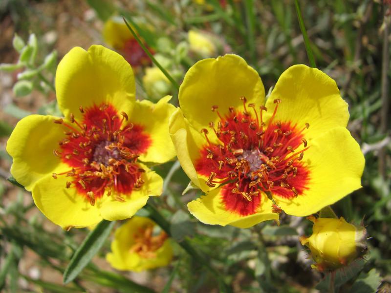 گل رز ایرانی (غرب کرج)