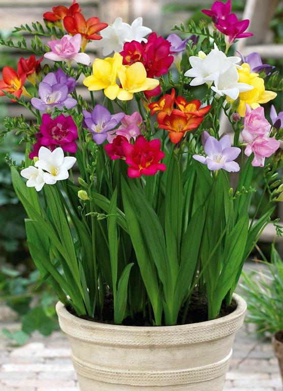 معرفی گل فریزیا - گلهای شما همچنان میخندند