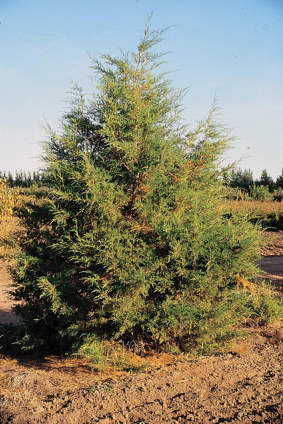 Juniperus_scopulorum_tree