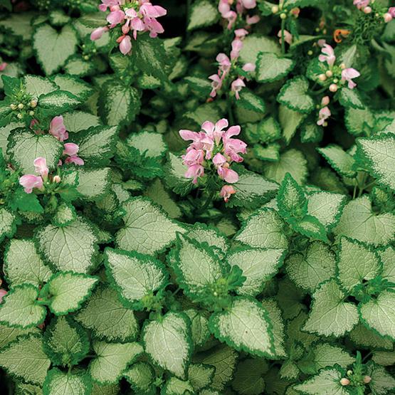 گل لامیوم