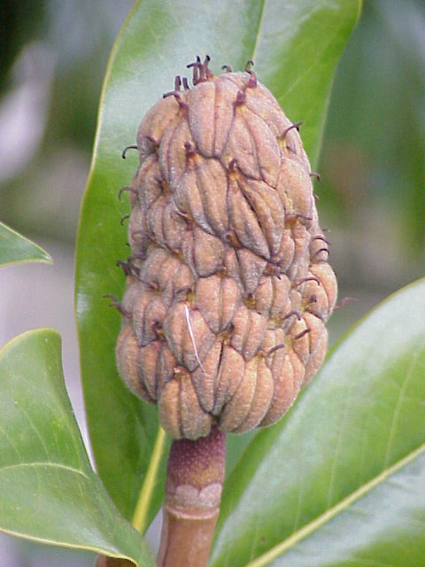 میوه ماگنولیا تابستانه