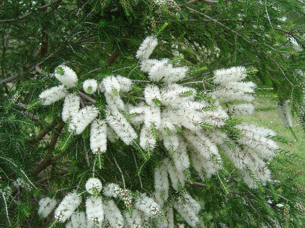 گیاه مورد یا ملالوکا (نگهداری + پرورش)
