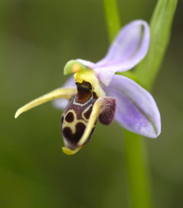 گل ارکیده زنبور