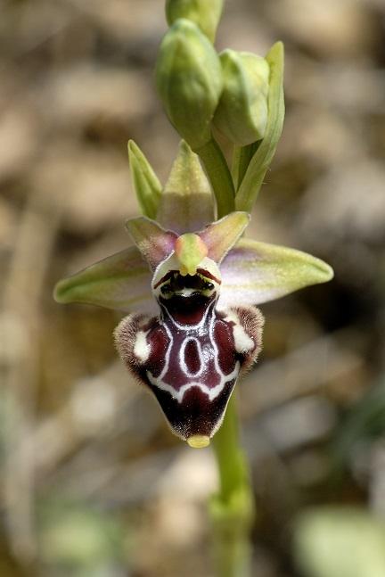 Ophrys_incubacea_x_Ophrys_oxyrrhynchos