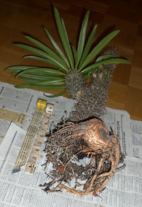 PachyLamerei-root-5