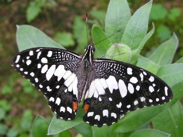 پروانه برگ خوار