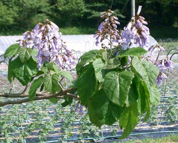 گلدهی پالونیا
