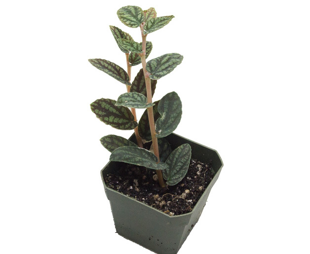 گل پلونیا