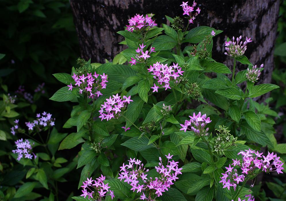 گل پنج پر(پنتاس)